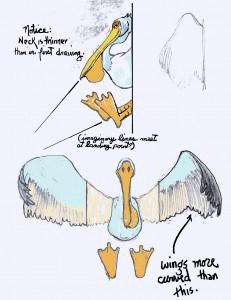 pelican002 (2)